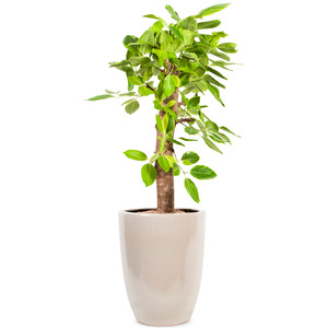 뱅갈고무나무Ⅱ