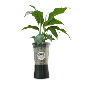 컵플랜트 공기정화식물 스파트필름